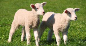 """Buona Pasqua: significato e querelle """"agnello sì agnello no"""""""