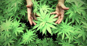 Cannabis light shop: denunciato un rivenditore