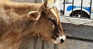 Messina, verrà salvata dal macello la mucca ritrovata in centro città