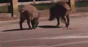 Cinghiali a spasso a Messina alla ricerca di cibo