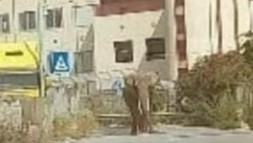 """Messina, elefante a """"passeggio"""" per lo svincolo di San Filippo"""